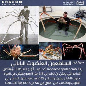 السلطعون العنكبوت الياباني Japanese spider crab