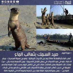 صيد السمك بثعالب الماء
